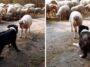 Cão pastor é desafiado por ovelha