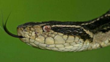 veneno de cobra brasileira coronavírus