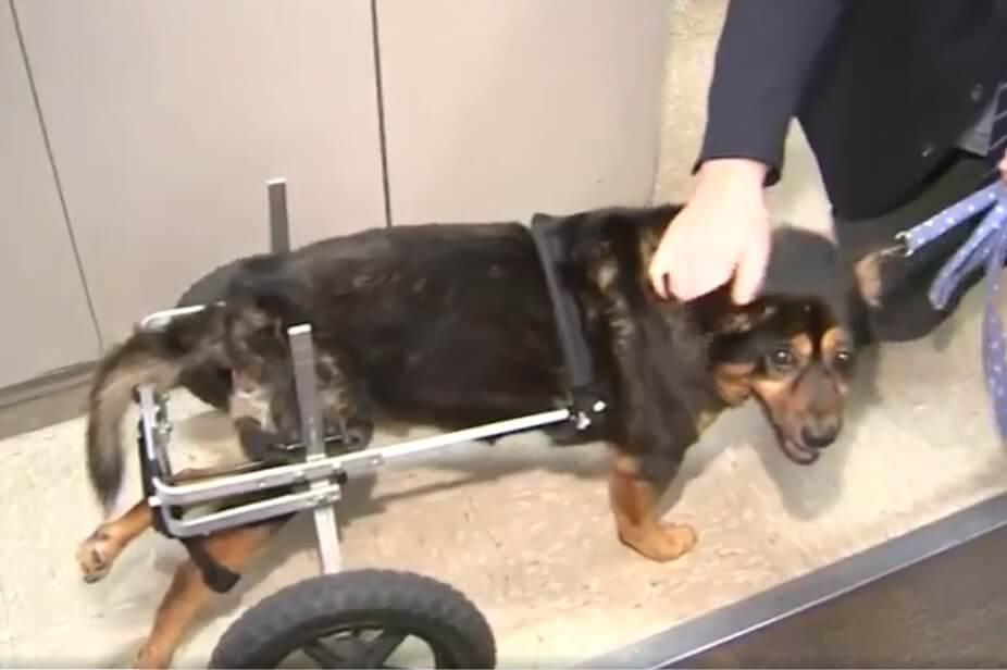 Homem cadeirante adota cachorro cadeirante